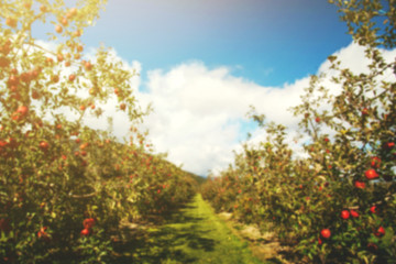 Blurred of Apple Orchard with Apple Tree Row and sunny blue sky Background