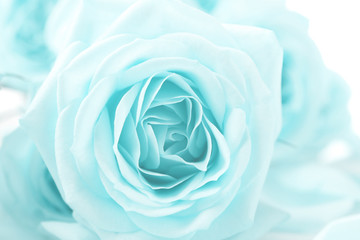 Beautiful rose, closeup. Floral background.