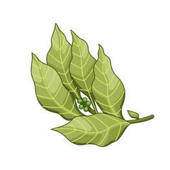 Bay leaf vector colored botanical illustration