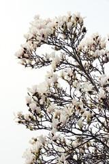 pink magnolia blossom in springtime