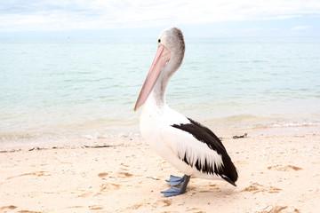Pelican, Monkey Mia, Western Australia
