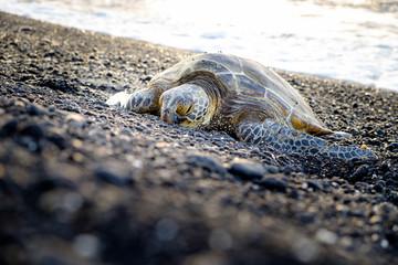 Sea turtle crawling on the rocky beach, Hawaii