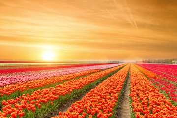 Landscape of Netherlands tulips with sunlight in Netherlands... Wall mural