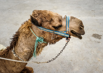 The dromedary in the bridle