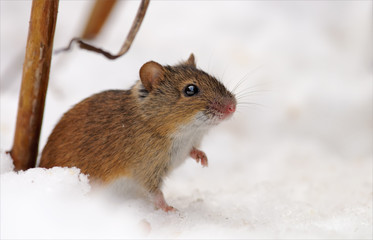 Striped field mouse near her hole in the snow