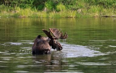 Big bull moose alaska