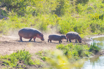 Hippos on riverbank in the Kruger National Park, famous travel destination in South Africa.