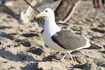The bird is on the beach. Portrait of large gull is on the background of the sandy beach.