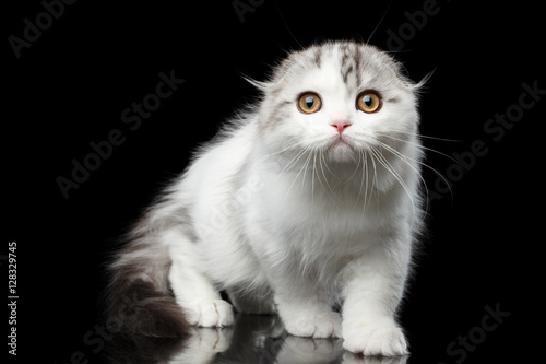 White furry cat breed