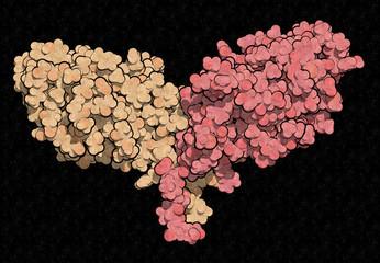 CTLA-4 (Cytotoxic T-lymphocyte-associated protein 4, CD152) protein