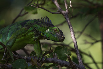 Green Iguana, Tavernier, Key Largo, Florida