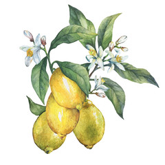 Branch of the fresh citrus fruit lemon with green leaves and flowers. Hand drawn watercolor painting on white background.