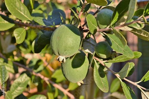 Ramo con frutti di una pianta di feijoa acca sellowiana for Pianta feijoa