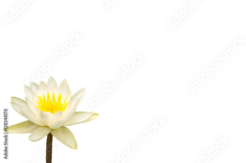 The Water Lily Flower White Background