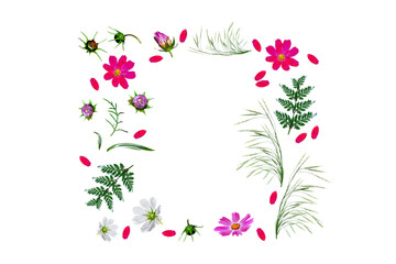 Cosmos flowers isolated on white background. Top view, flat lay.