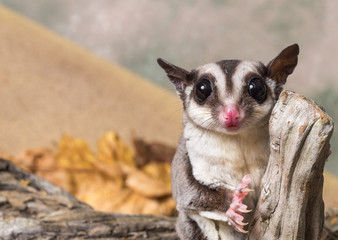 Sugar glider on a stump