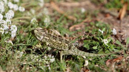 Foto auf Acrylglas Chamaleon Kameleon na maltańskiej łące