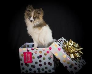 Cute Pomeranian Gift