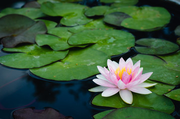beautiful lotus flower in pond