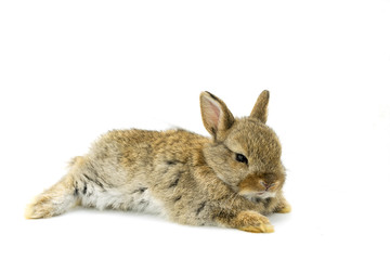 Baby Brown Holland lops rabbit lie down with white background