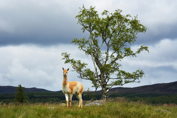 Vicuna by a tree