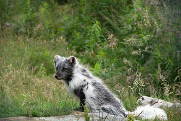 Arctic Fox in part winter coat