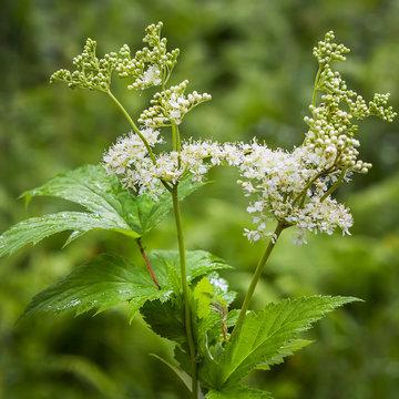 Flowering Meadowsweet (Latin name Filipendula ulmaria)