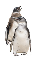 Full body portrait of two penguins isolated on white