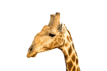 Picture of a giraffe head isolated on white background