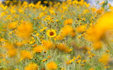 Wild flowers of Mexico. Wild sunflowers and daisies. Yellow blurred flowers in the Mexican countryside. Sunflowers growing wild.
