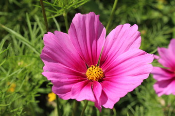 """""""Mexican Aster"""" flower (or Garden Cosmos) in Zurich, Switzerland. Its Latin name is Cosmos Bipinnatus Radiance, native to Mexico."""