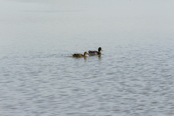 Two ducks swimming in the lake.