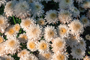 White chrysanthemum flowers wallpaper background in warm light tone and vintage.