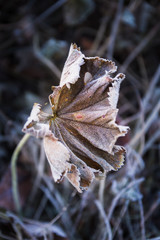 Frosted remains of a plant. Fading beauty. Winter is coming.  Cold as ice.