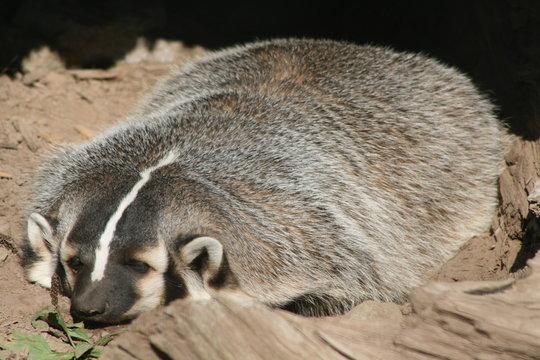 Wisconsin Badger