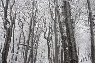 Bieszczadzki Park Narodowy droga na Połoninę Wetlińską, drzewa w szadzi