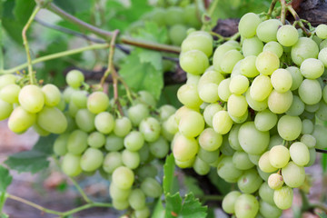 close up of green grapes on branch
