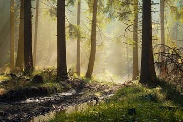 Keuken foto achterwand Bos in mist beautiful morning light in spruce forest