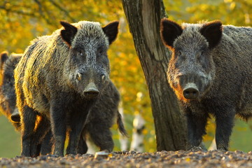 curious wild boars Wall mural