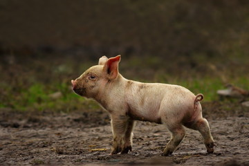 young pig near the farm