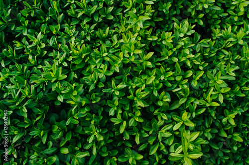 """Nice Fresh Green Bush Leaves Closeup Texture Background"