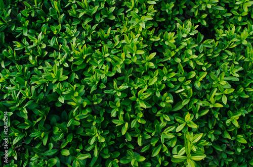 """Nice Fresh Green Bush Leaves Closeup Texture Background"