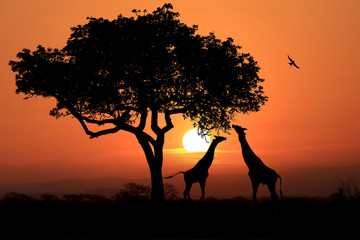 Aluminium Prints Large South African Giraffes at Sunset in Africa