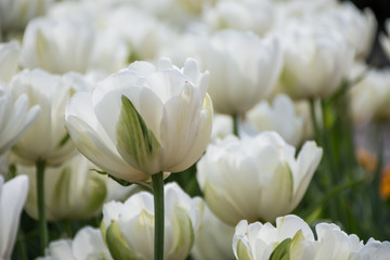 White tulip, Botanical Gardens of Balchik, Bulgaria