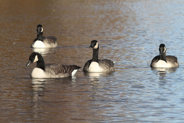 Bernaches du Canada - oiseaux migrateurs