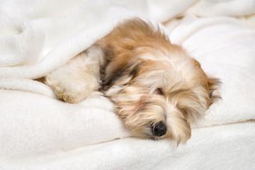 Cute sleeping reddish Bichon Havanese puppy on a white bedspread