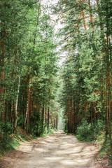Fototapete - road through pine forest