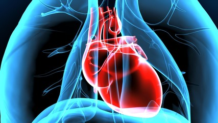 3d illustration human body heart