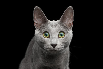 Close-up portrait of Russian blue cat with amazing green eyes and gray silver fur stare in camera on isolated black background
