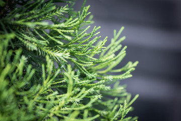 pine leaf texture and background in winter